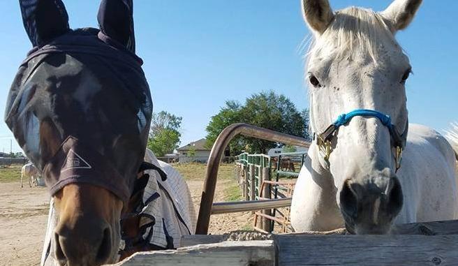 Studley Arabians